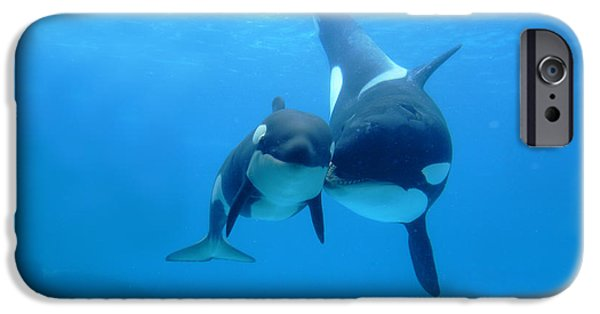 Young iPhone Cases - Orca Orcinus Orca Mother And Newborn iPhone Case by Hiroya Minakuchi