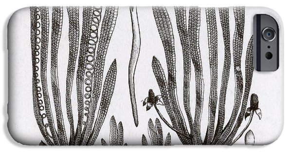 Botanic Illustration Photographs iPhone Cases - Page From Darwins Botanic Garden iPhone Case by Science Source