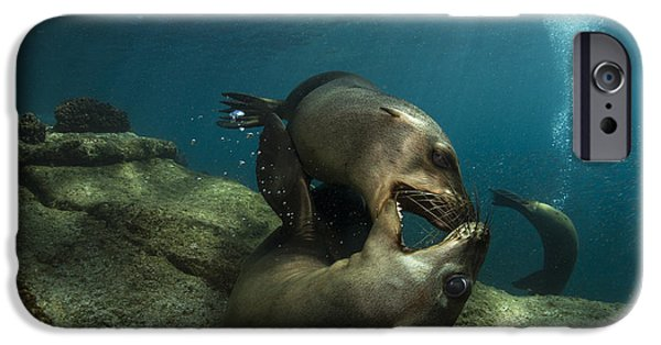 California Sea Lions iPhone Cases - Pair Of Playful Sea Lions, La Paz iPhone Case by Todd Winner