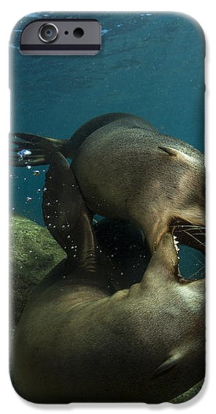 Pair Of Playful Sea Lions, La Paz iPhone Case by Todd Winner