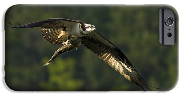 Wild Trout iPhone Cases - Pandion Haliaetus iPhone Case by Mircea Costina Photography