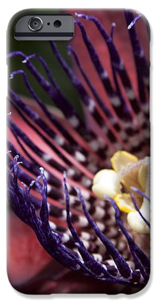 Passiflora alata - Winged Stem Passion Flower - Ruby Star - Ouvaca iPhone Case by Sharon Mau