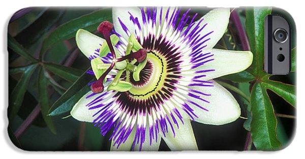 Passiflora iPhone Cases - Passion Flower (passiflora Sp.) iPhone Case by Kaj R. Svensson