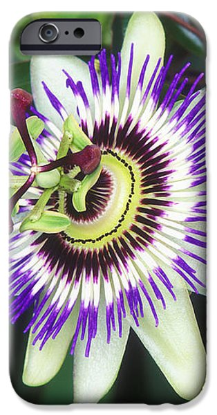 Passion Flower (passiflora Sp.) iPhone Case by Kaj R. Svensson