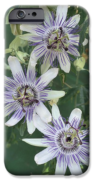 Passiflora iPhone Cases - Passion Flowers iPhone Case by Archie Young