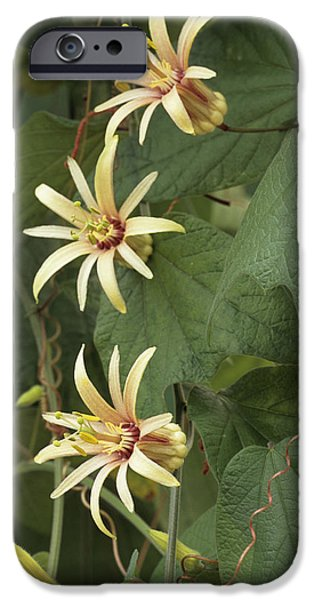 Passionflower iPhone Cases - Passionflower iPhone Case by Archie Young