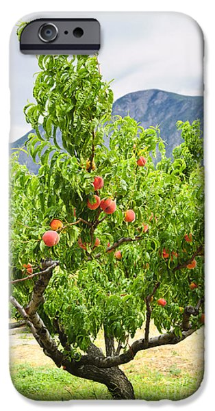Crops iPhone Cases - Peaches on tree iPhone Case by Elena Elisseeva