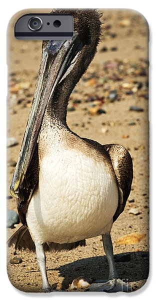 Pelicans iPhone Cases - Pelican on beach in Mexico iPhone Case by Elena Elisseeva