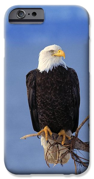 Perched Bald Eagle iPhone Case by Natural Selection David Ponton