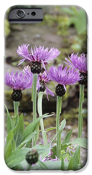 Perennial Cornflowers 'parham' iPhone Case by Archie Young