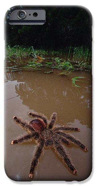 Wildlife Disasters iPhone Cases - Peruvian Pinktoe Tarantula Avicularia iPhone Case by Mark Moffett