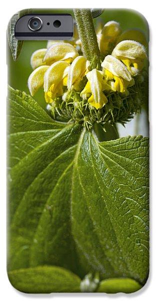 Phlomis Russeliana iPhone Case by Dr Keith Wheeler