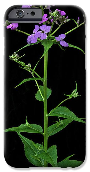 Phlox iPhone Cases - Phlox iPhone Case by Michael Peychich