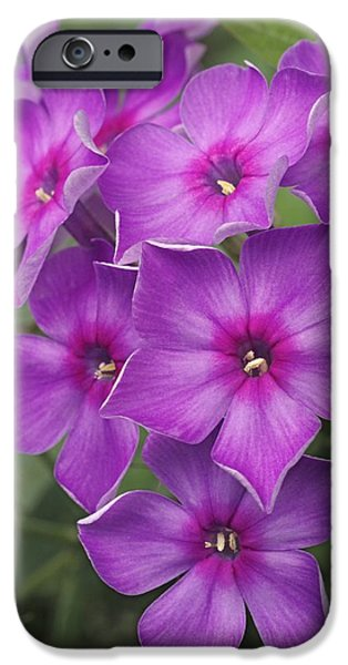 Phlox iPhone Cases - Phlox Paniculata iPhone Case by Dr. Nick Kurzenko