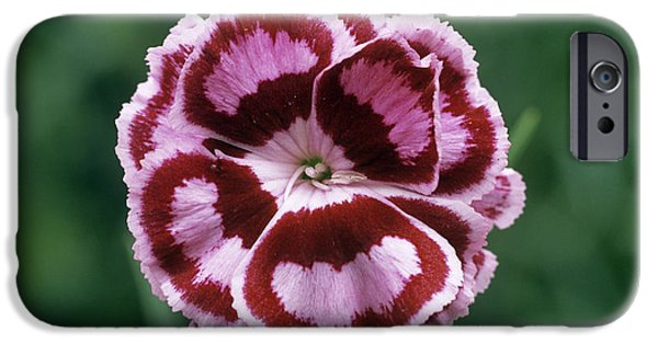 Becky Photographs iPhone Cases - Pink (dianthus becky Robinson) iPhone Case by Archie Young