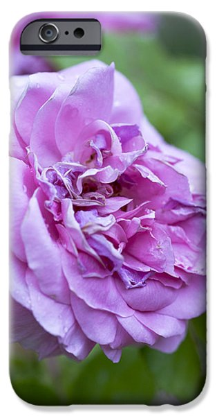 Garden Images iPhone Cases - Pink Rose Flower iPhone Case by Frank Tschakert