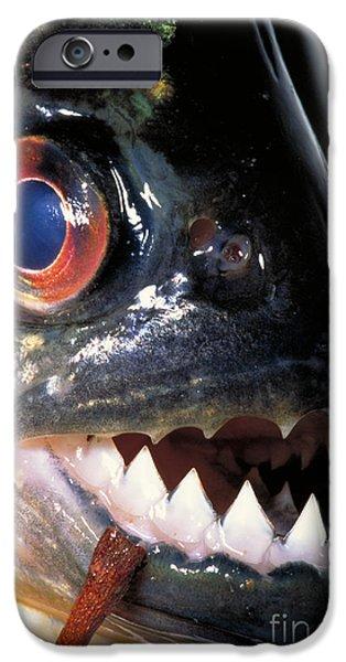 Piranha iPhone Cases - Piranha iPhone Case by Dante Fenolio