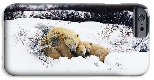 Snowbank iPhone Cases - Polar Bear Cubs, Churchill, Manitoba iPhone Case by Mike Grandmailson
