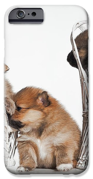 Pomeranian 3 iPhone Case by Everet Regal