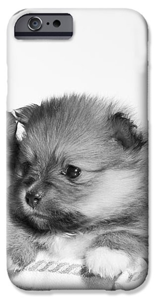 Pomeranian iPhone Case by Everet Regal