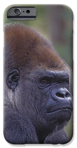 Dominating iPhone Cases - Portrait Of A Gorilla iPhone Case by Natural Selection David Ponton