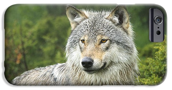 Wolf Photo iPhone Cases - Portrait of a wolf iPhone Case by Andy-Kim Moeller