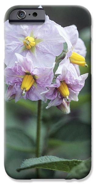 Potato (solanum Tuberosum 'charlotte') iPhone Case by Maxine Adcock