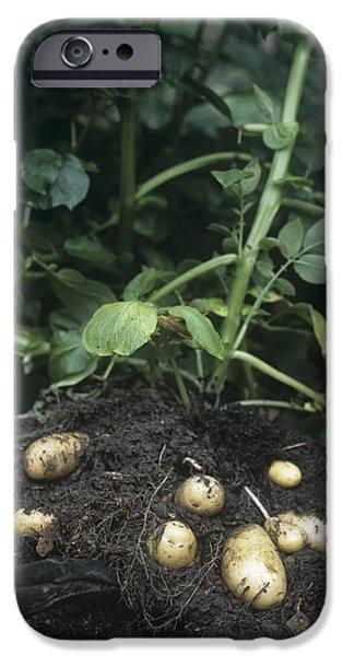 Charlotte iPhone Cases - Potatoes (solanum Tuberosum charlotte) iPhone Case by Maxine Adcock