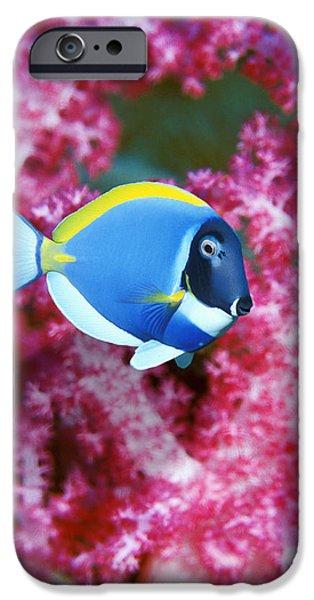 Powder Blue Surgeonfish iPhone Case by Georgette Douwma