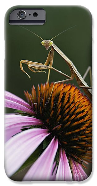 Indiana Flowers iPhone Cases - Praying Mantis and Coneflower - D008024 iPhone Case by Daniel Dempster