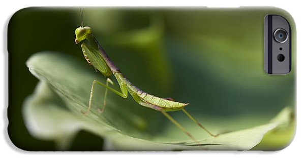 Mantodea iPhone Cases - Praying Mantis II iPhone Case by Zoe Ferrie