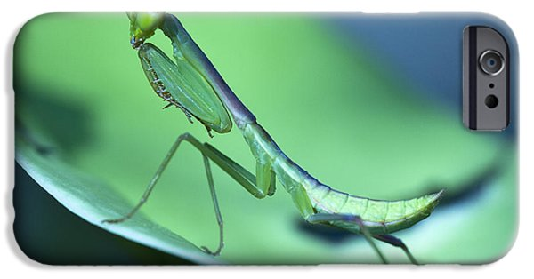 Mantodea iPhone Cases - Praying Mantis III iPhone Case by Zoe Ferrie