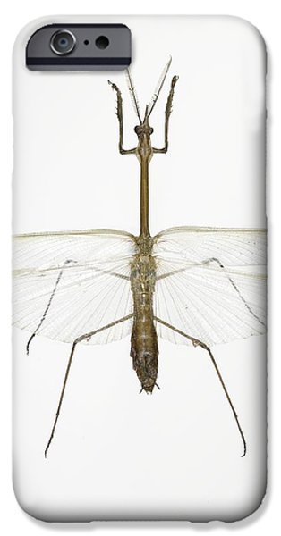 Mantodea iPhone Cases - Praying Mantis iPhone Case by Lawrence Lawry