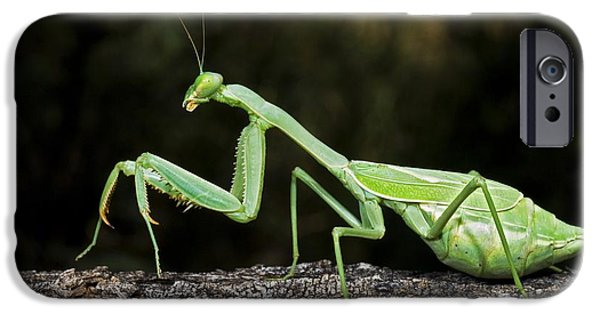 Mantodea iPhone Cases - Praying Mantis Perched On A Tree iPhone Case by Jack Goldfarb