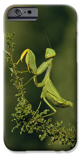 Mantodea iPhone Cases - Praying Mantis iPhone Case by Peter Chadwick