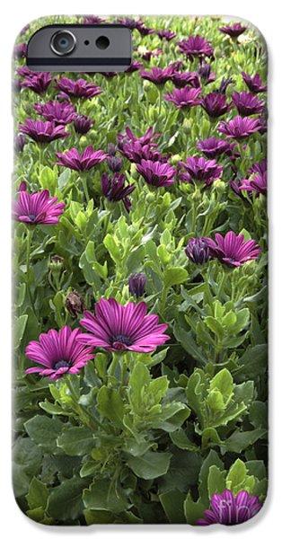 Best Sellers -  - Prescott iPhone Cases - Prescott Park - Portsmouth New Hampshire Osteospermum Flowers iPhone Case by Erin Paul Donovan