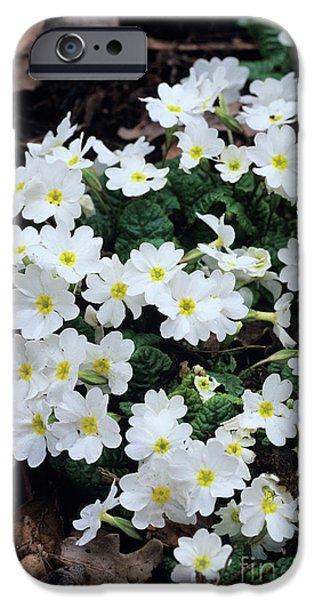 Primroses iPhone Case by Adrian Thomas
