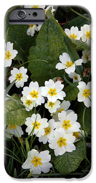 Primroses (primula Vulgaris) iPhone Case by Dr Keith Wheeler