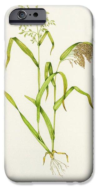Proso Millet (panicum Miliaceum), Artwork iPhone Case by Lizzie Harper