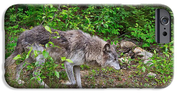 Wolf Photographs iPhone Cases - Prowling Wolf iPhone Case by Louise Heusinkveld