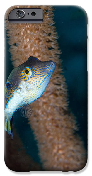 Porcupine Fish iPhone Cases - Puffer Profile iPhone Case by Jean Noren