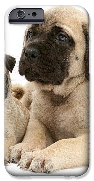 Pug And English Mastiff Puppies iPhone Case by Jane Burton