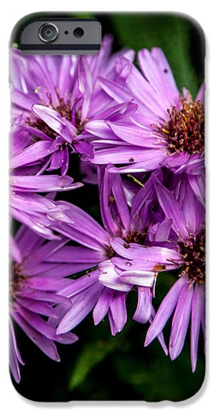 Purple Aster Blooms iPhone Case by John Haldane