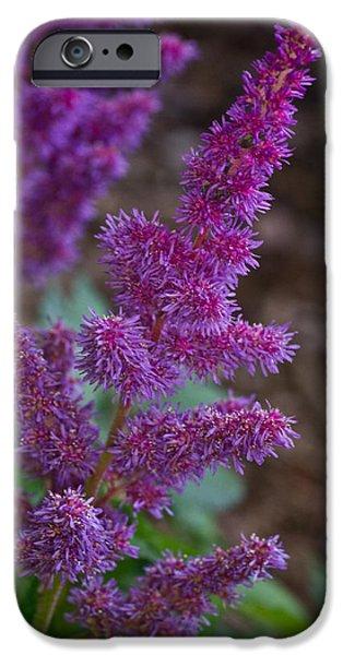 Spirea iPhone Cases - Purple Astilbe Bloom 2 iPhone Case by Douglas Barnett