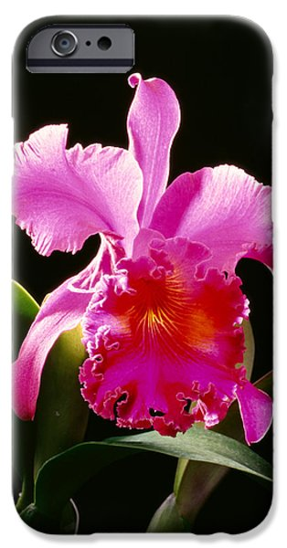 Purple Cattleya iPhone Case by Tomas del Amo - Printscapes