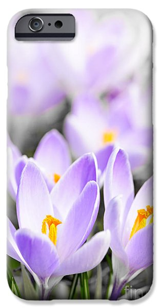 Stamen iPhone Cases - Purple crocus blossoms iPhone Case by Elena Elisseeva