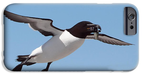 Razorbill iPhone Cases - Razorbill In Flight iPhone Case by Bruce J Robinson