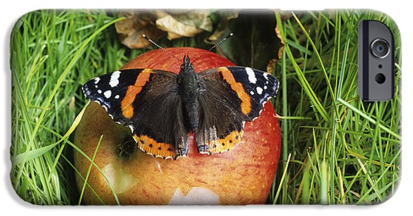 Eating Entomology iPhone Cases - Red Admiral Butterfly iPhone Case by David Aubrey