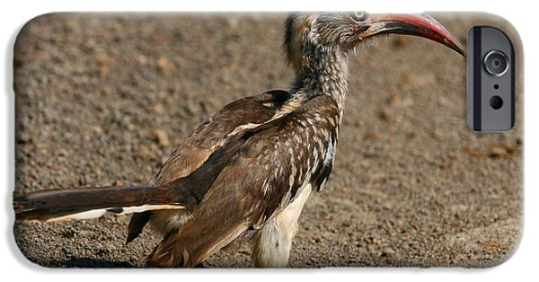 Hornbill iPhone Cases - Red-billed Hornbill iPhone Case by Bruce J Robinson