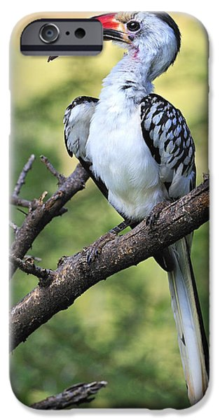 Hornbill iPhone Cases - Red-billed Hornbill iPhone Case by Tony Beck